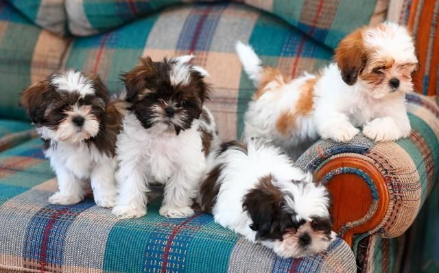 14 Reasons Why Shih Tzus Are The Worst Dogs Shih Tzu Puppy