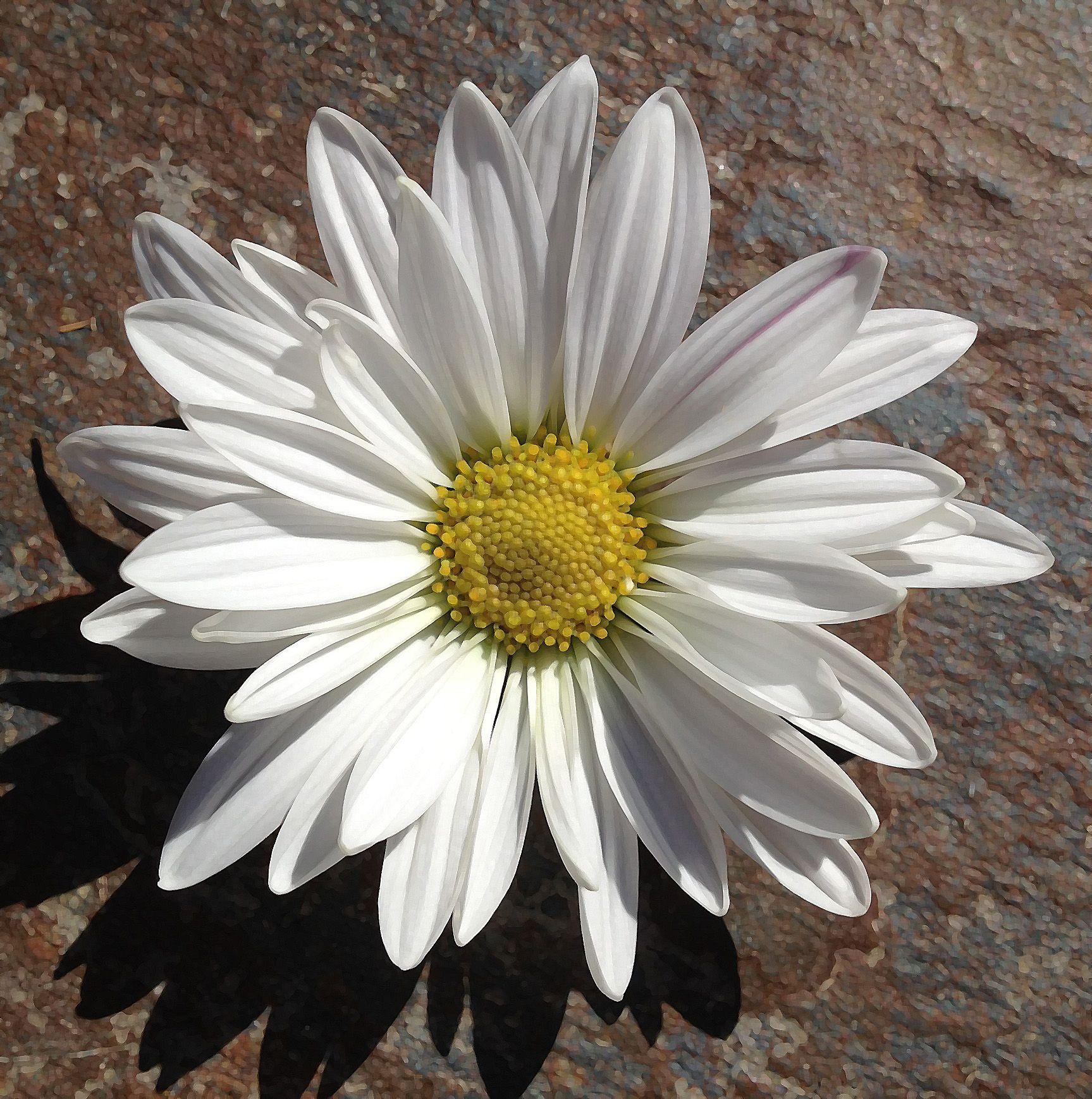 Simple Daisy By Alise Sheehan Flowers Pinterest Flower Power