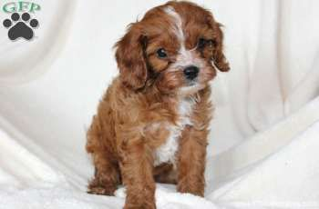 Grant , a darling Cockapoo puppy for sale from Manheim, PA