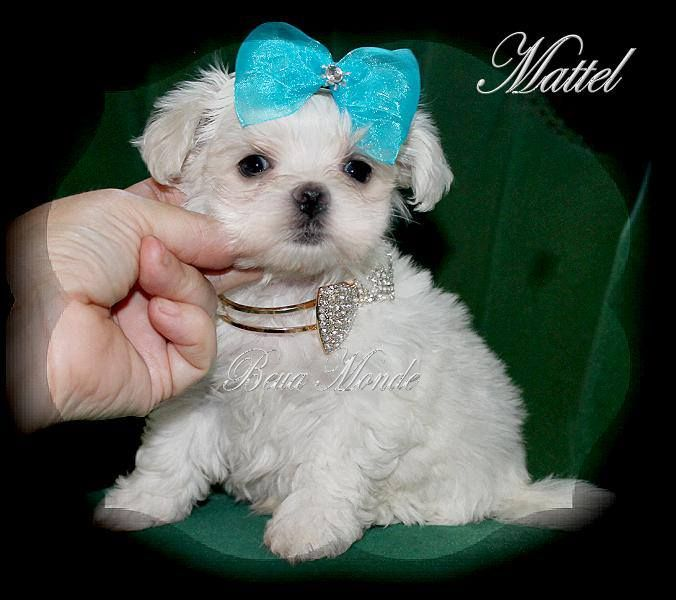 Maltese Puppy For Sale Maltese Puppy Maltese Puppies For Sale Teacup Puppies Maltese