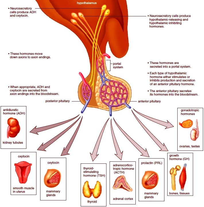 The hypothalamus and the pituitary diagram | iqmrt | Pinterest | Diagram