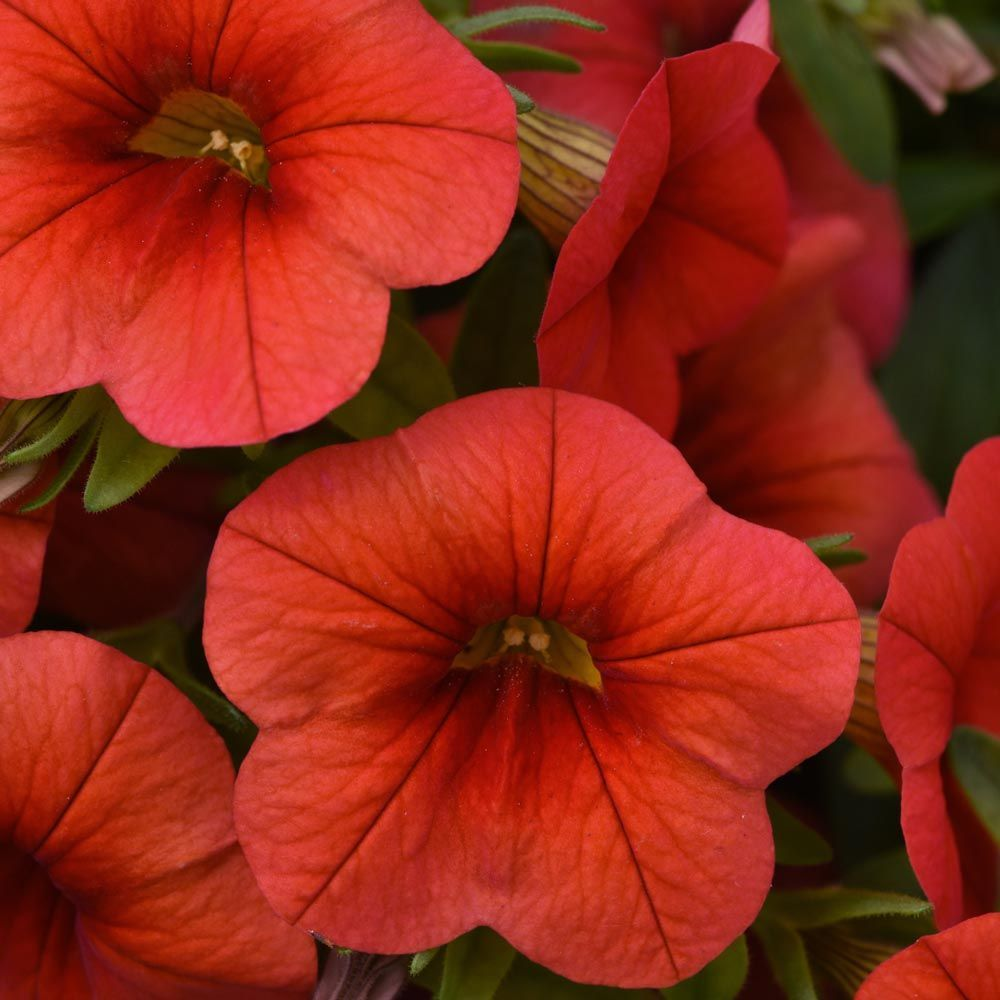 Calibrachoa Cabaret Orange Improved In 2020 Container Plants