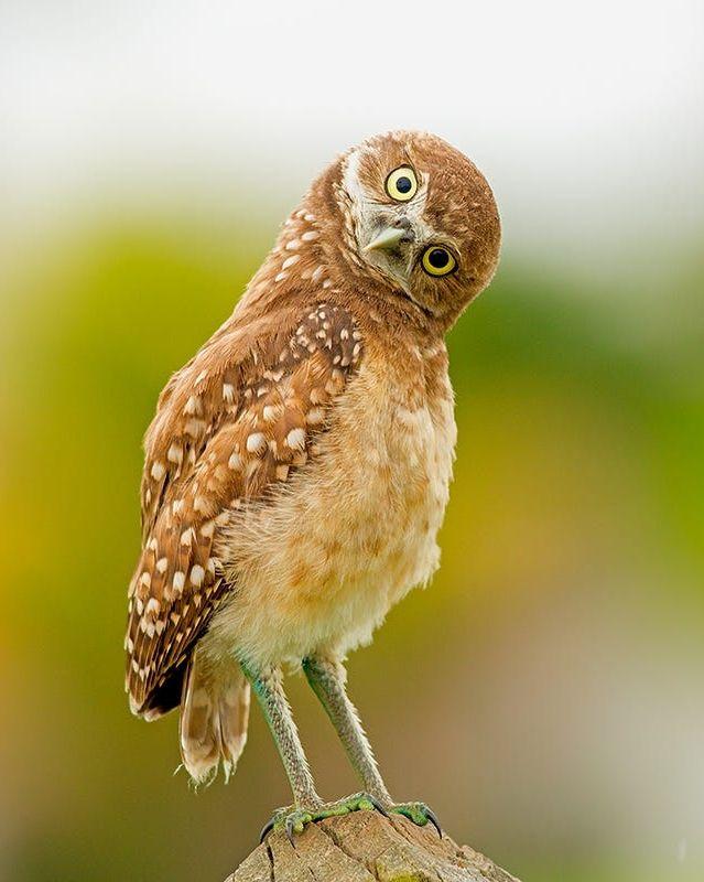Owl by JH Atala