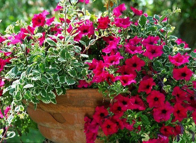 plantes et feuilles pour jardini res estivales fleurs pinterest en t balcons et superbe. Black Bedroom Furniture Sets. Home Design Ideas