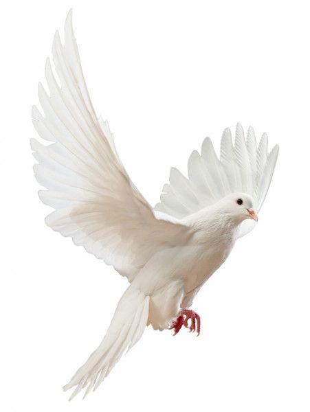 Una Paloma Blanca Volando Libre Aislada Imagen De Stock Aves Volando Aves Fotos De Aves