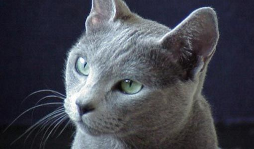 Something About A Cat This Color Drives Me Crazy I Want One In 2020 Russian Blue Cat Blue Cats Russian Blue