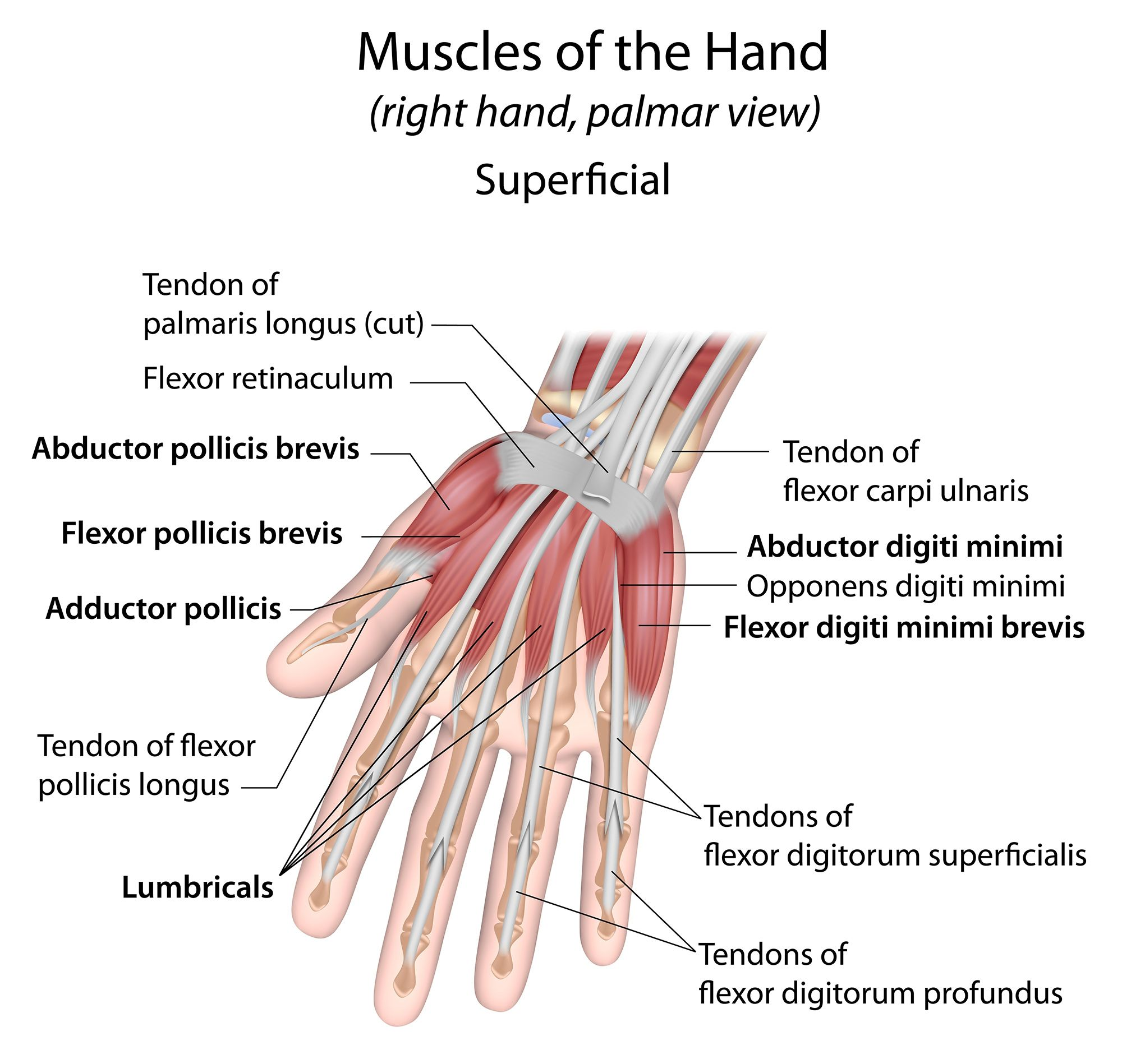 Image Result For Tendons Of Wrist And Hand Anatomy And Physiology
