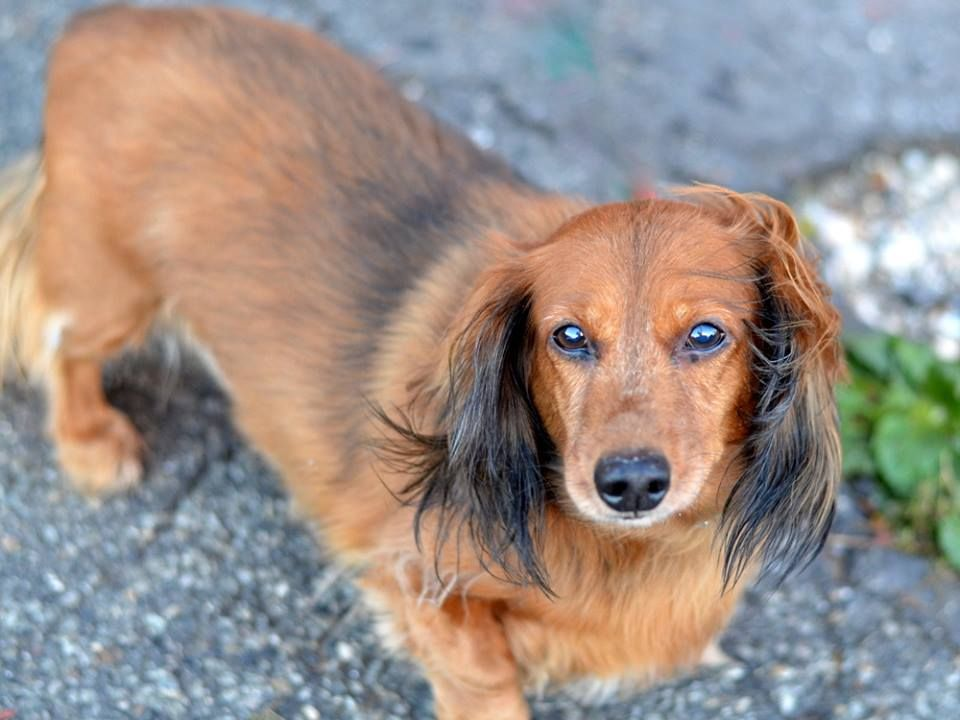SAFE --- SUPER URGENT 10/31/14 Brooklyn Center  CHULO - A1019278  NEUTERED MALE, BROWN, DACHSHUND LH MIX, 10 yrs OWNER SUR - ONHOLDHERE, HOLD FOR ID Reason PERS PROB Intake condition EXAM REQ Intake Date 10/31/2014, From NY 11204, DueOut Date 10/31/2014,  https://www.facebook.com/photo.php?fbid=898400373506176