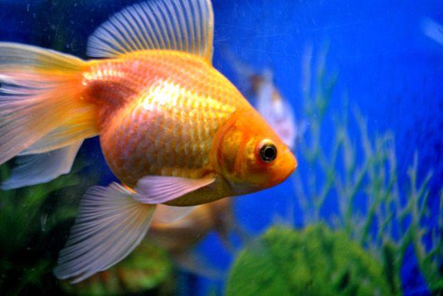 Gold Fish Tank Public Domain Pictures Goldfish Tank Goldfish