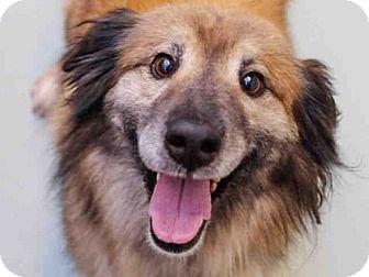 Denver Co Australian Shepherd Mix Meet Brad A Dog For