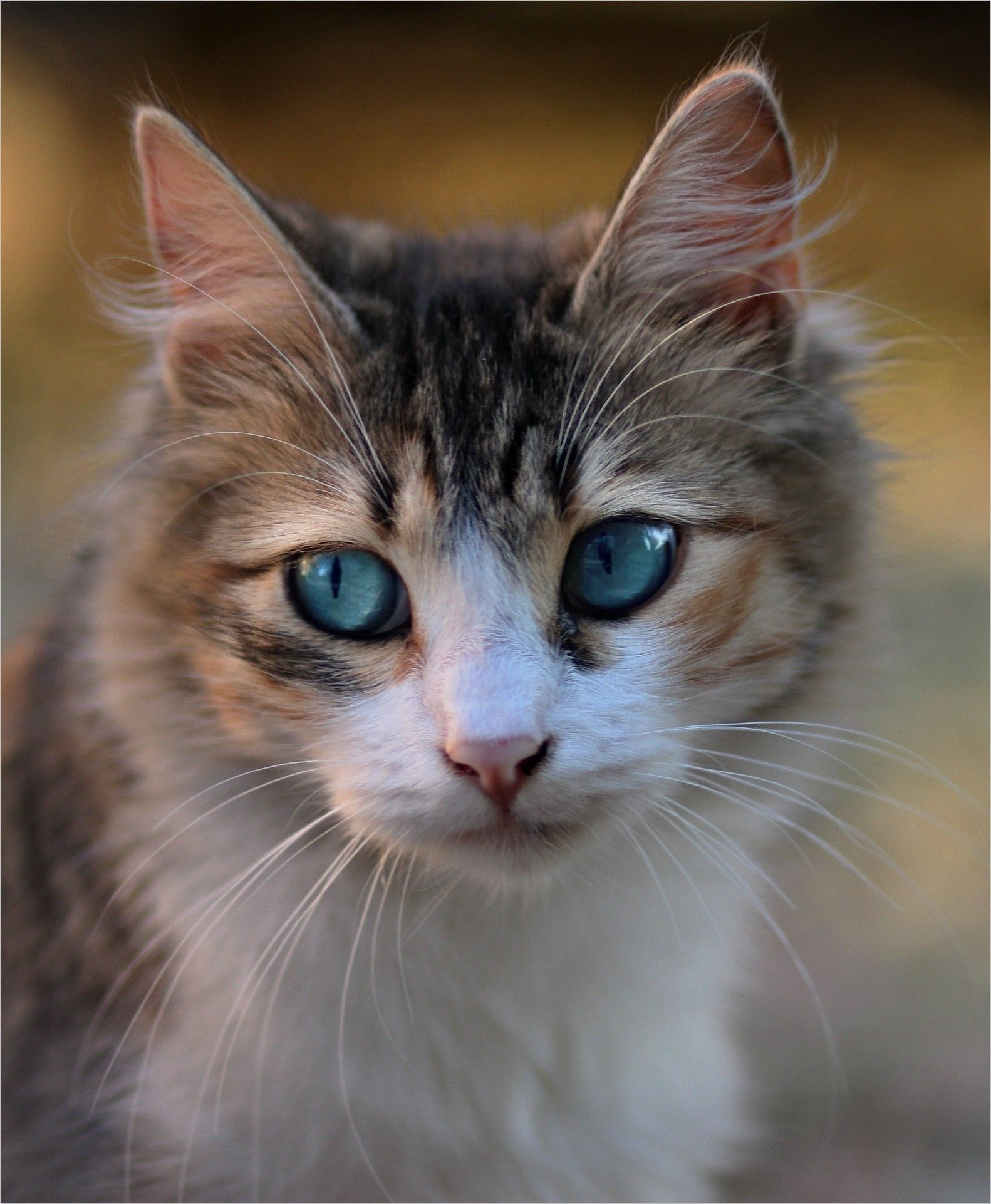 Cat Eyes Image Cat Blue Eyes About Pet Has Red White Black Feathers