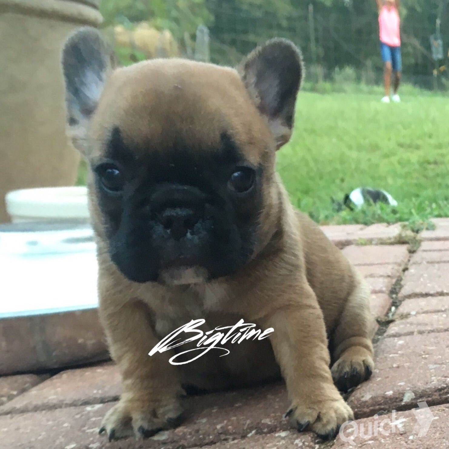 Pin by Big Time on Big Time Frenchies French bulldog