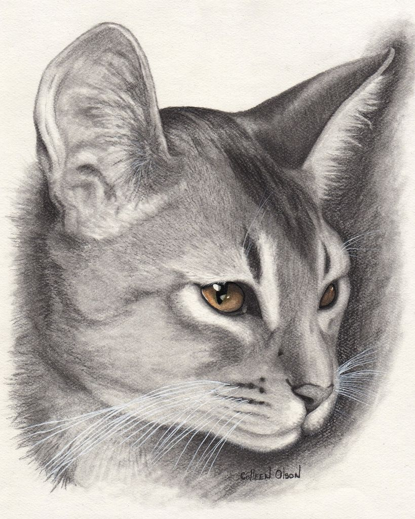beautiful abyssinian cat drawing pictures of cats