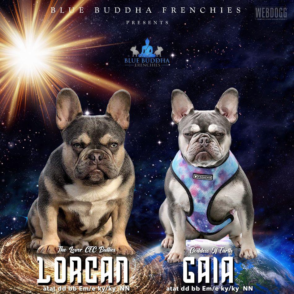 French Bulldog Litter Announcement Gaia X Lorcan Dog Breeder