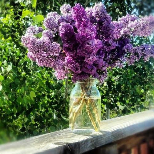 Lilacs, love their smell