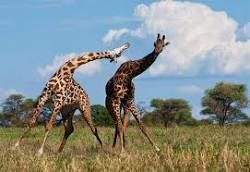 un KO dans une bagarre de girafes [video] - http://www.2tout2rien.fr/ko-bagarre-girafes-video/