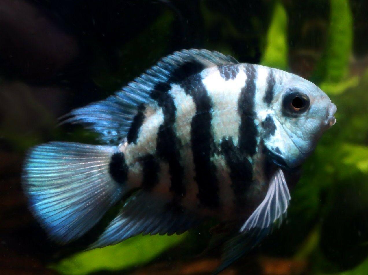 Polar Blue Convict Parrot Cichlid Parrot Fish Cichlid Fish Cichlids