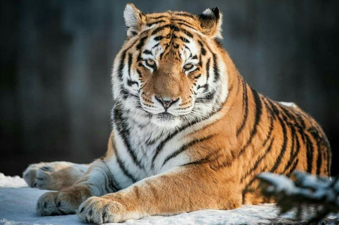 Gato Lindoooo Big Cats Animals Beautiful Siberian Tiger