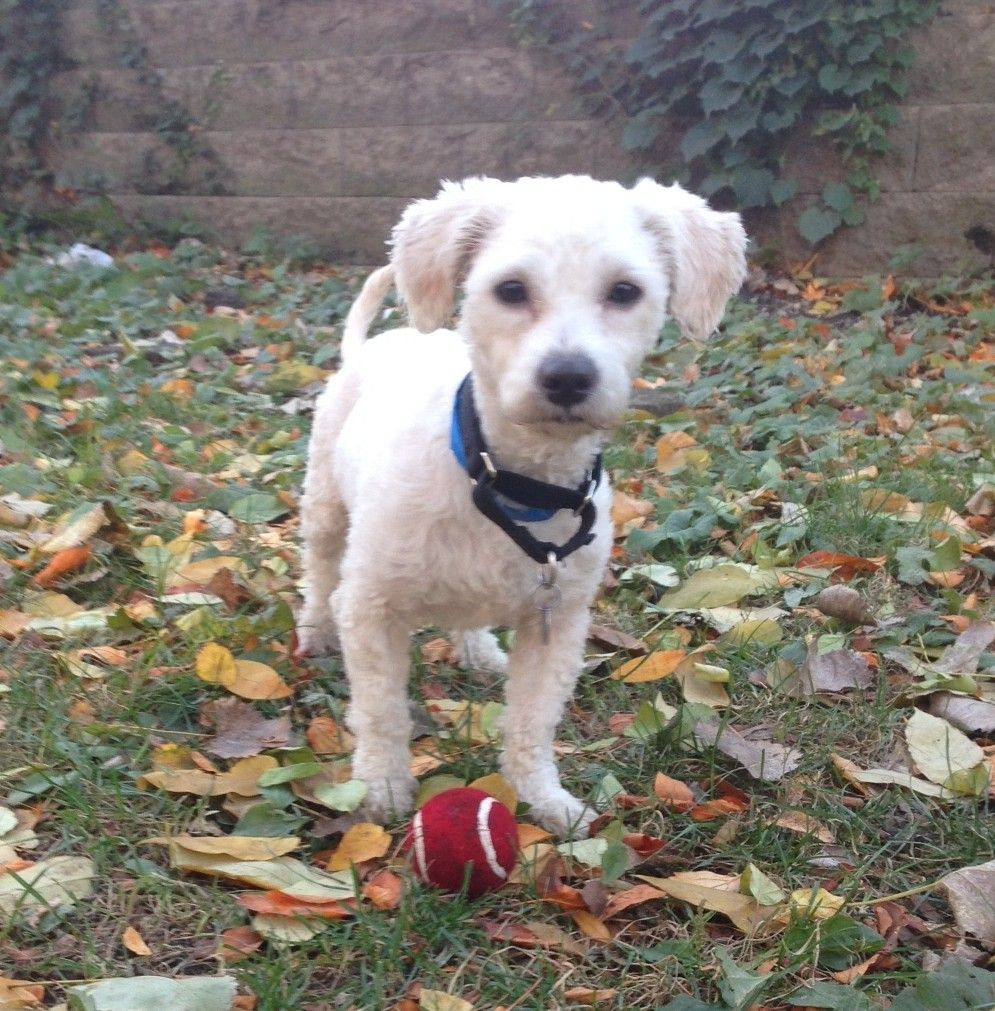 Click through to learn more about Aruba, a one-year-old Miniature Poodle available for adoption at @pawschicago