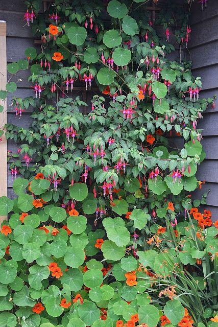 Outdoor Cultivation Fuchsia Plants Plants Nasturtium Edible Garden
