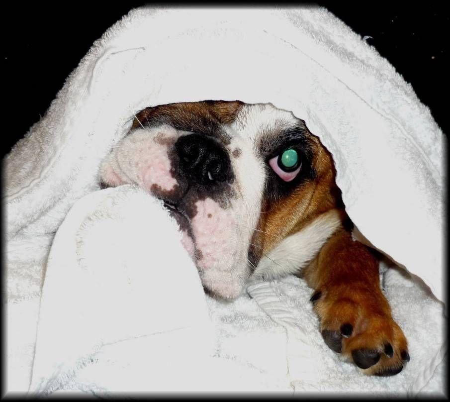 Cleaning Bulldog Tear Stains English Bulldog Englishbulldog