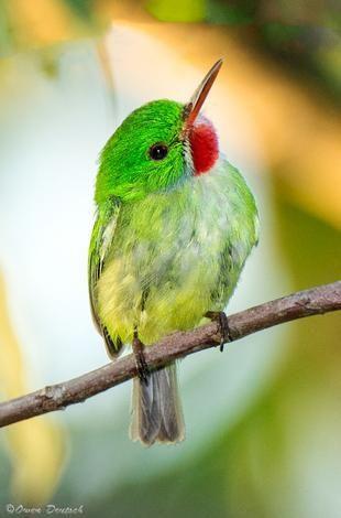 Todus todus/Jamaican Tody/ジャマイカコビトドリ