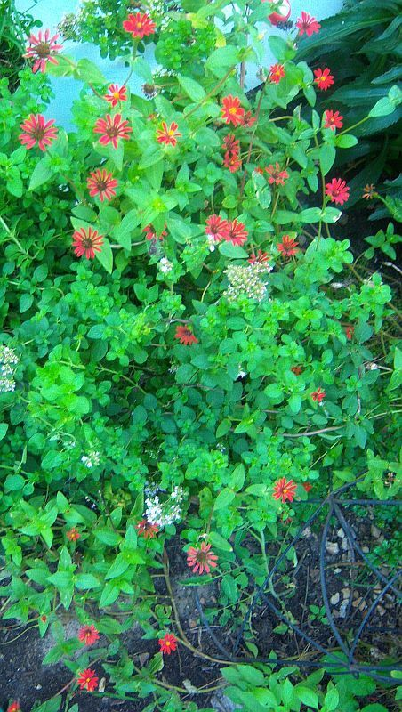 50 'Red Spider' Zinnia tenuifolia Seeds - RESEEDS EVERY YEAR FROM SEED! #RedSpiderZinnia