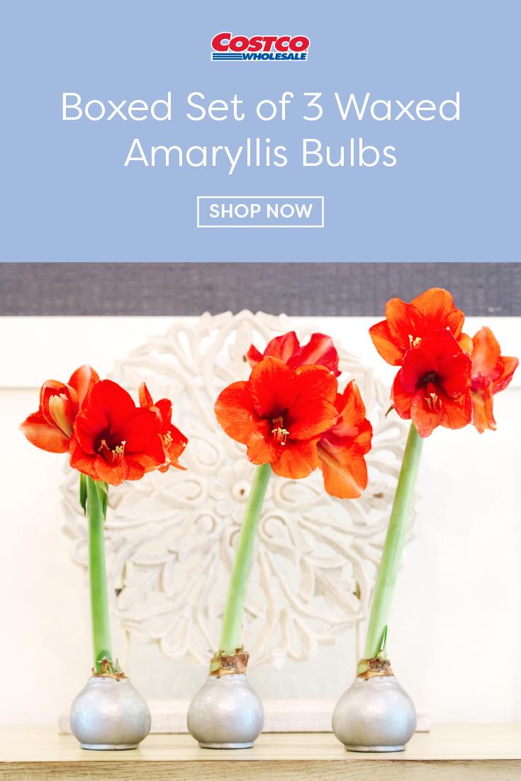Boxed Set Of 3 Waxed Amaryllis Bulbs In 2020 Amaryllis Bulbs Amaryllis Bulb