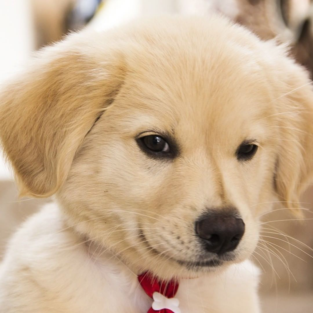 Look At The Face Of This Naughty Boy Goldenretriever