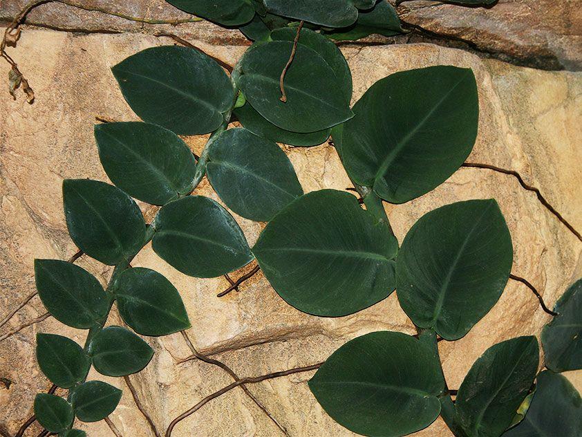 Рафидофора скрытостебельная - Rhaphidophora celatocaulis ...