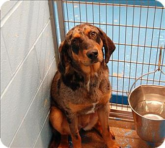Burlington Ky Hound Unknown Type Catahoula Leopard Dog Mix
