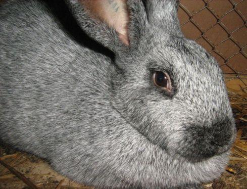quelques races de lapins - LA FAUNE ET LA FLORE