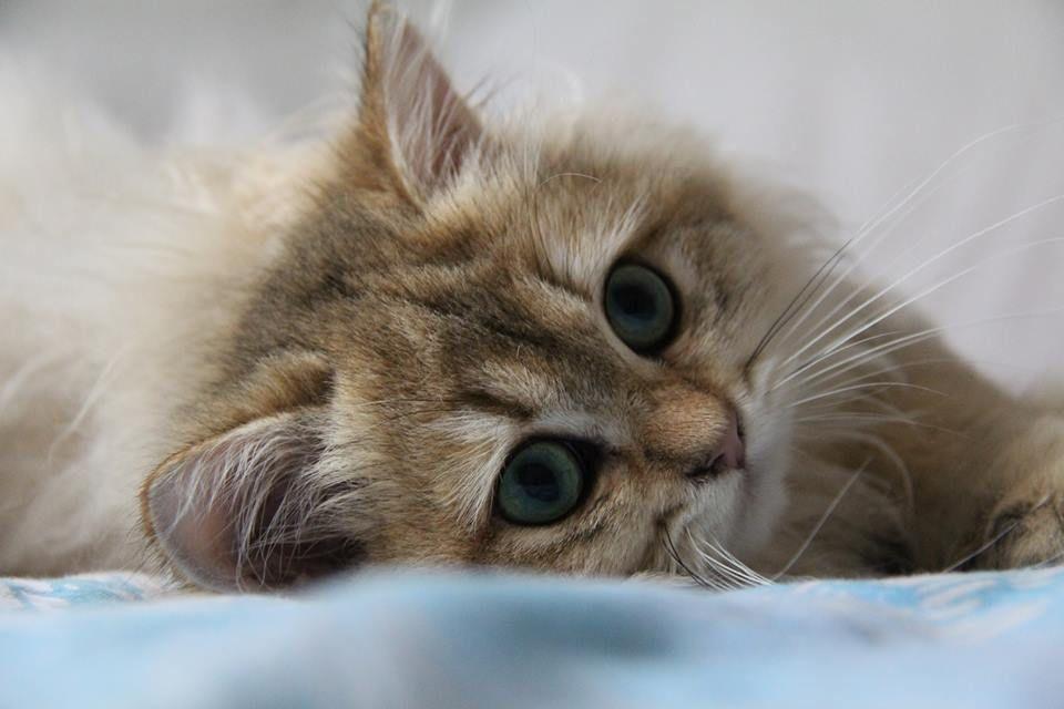 British Longhair Black Golden Ticked cat chat