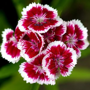 free download of pictures of carnations carnation flowers photo 29859879 fanpop - Carnation Flower Colors