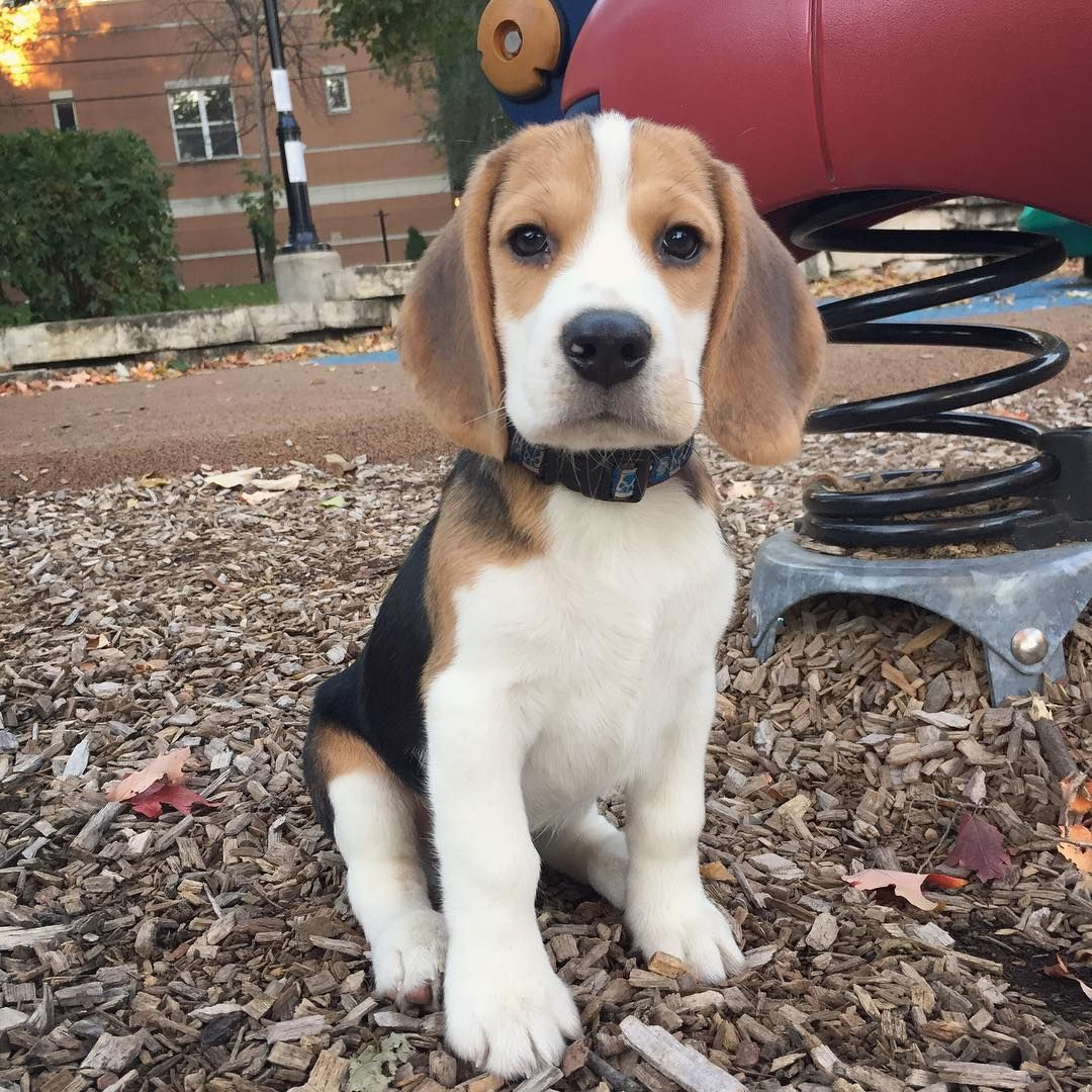 Adorable Beagle Demonstrates A Wide Array Of Sounds Beagle Puppy