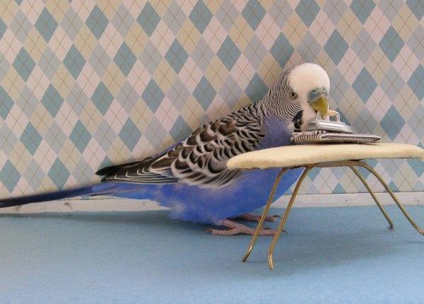 Pin By Muntsa Cabetas On Secret Life Of Parakeets And Budgies Pet Birds Funny Birds Cute Animal Memes