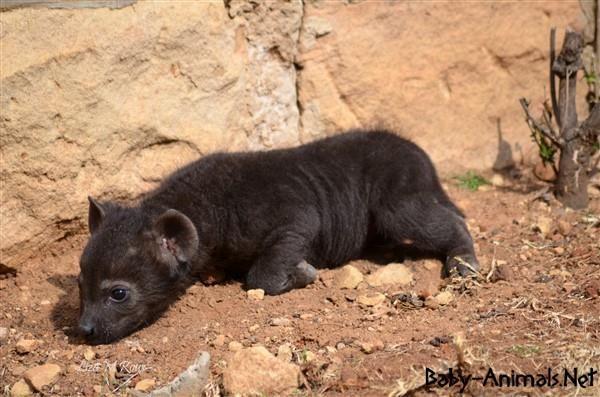 Yavru hayvan resimleri   #babyhyena  #cutehyena    #littlehyena   #sweethyena    #funnyhyena   #hyena    #hyenagallery  #babyanimals   #cuteanimals  #littleanimals
