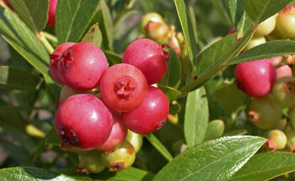 Preiselbeeren Wellness Aus Dem Garten Pflanzen Straucher Pflanzen Pflanzen Bestellen