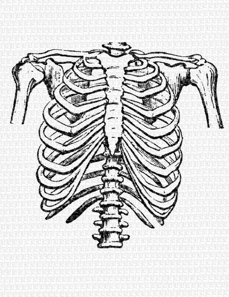 Human Rib Cage Frontal Position Vintage Clip Art Illustration Etsy In 2021 Human Rib Cage Human Ribs Clip Art Vintage