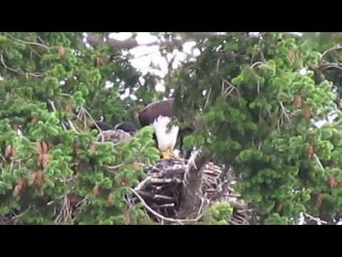 these wild eagles adopted a baby hawk and are raising him