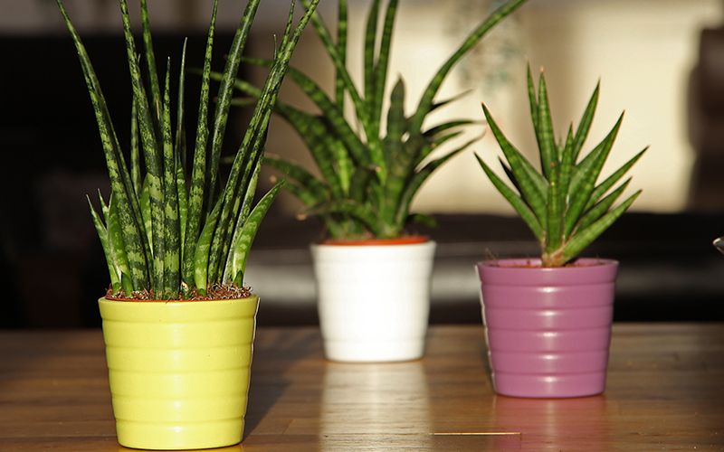 Three small snake plants in colorful pots. Plants