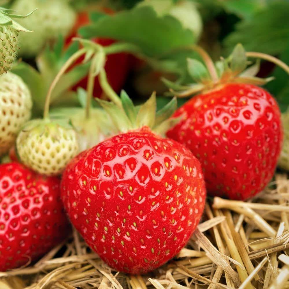 Semer et cultiver des fraises quand, comment et quelle