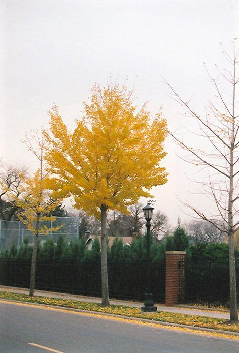 Autumn Gold Ginkgo Ginkgo Biloba Autumn Gold At Squak
