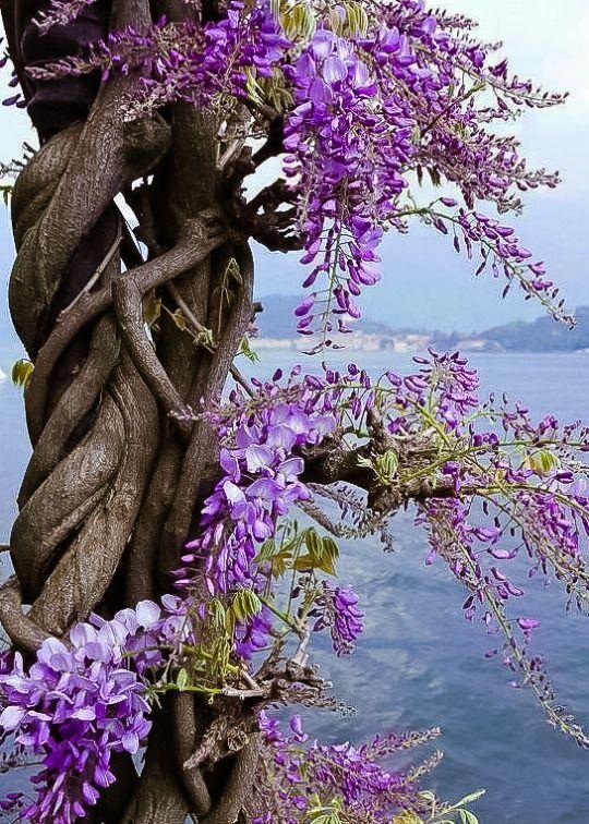 colour my world Nature, Wisteria tree, Wisteria