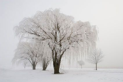 Weeping Willow In Winter Willow Tree Tattoos Weeping Willow Tree Willow Tree