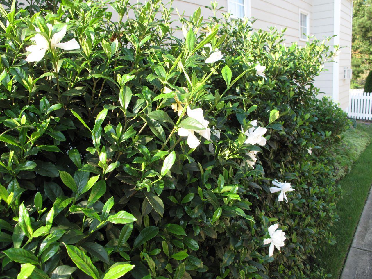 Gardenia Jasminoides U0027August Beautyu0027
