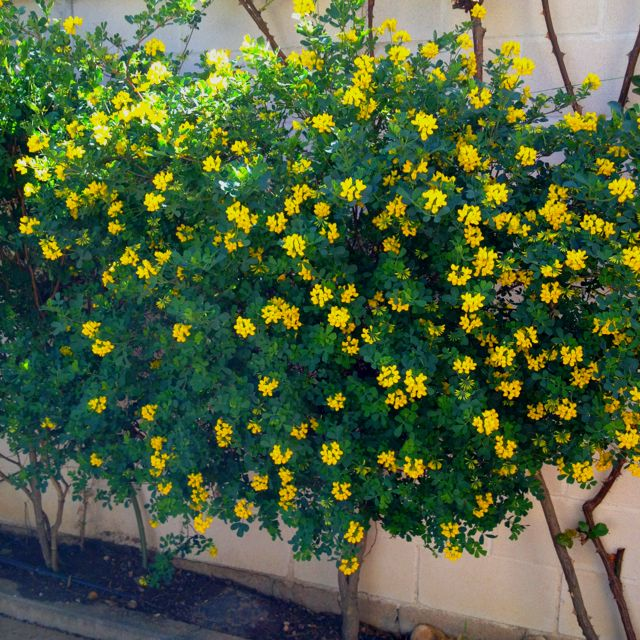 cerca de arbusto de hoja perenne gardening jardines