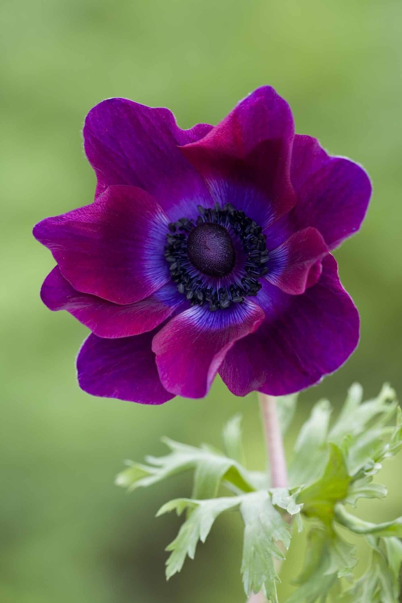 Growing Anemone Coronaria Purple Flowers Amazing Flowers Pretty Flowers