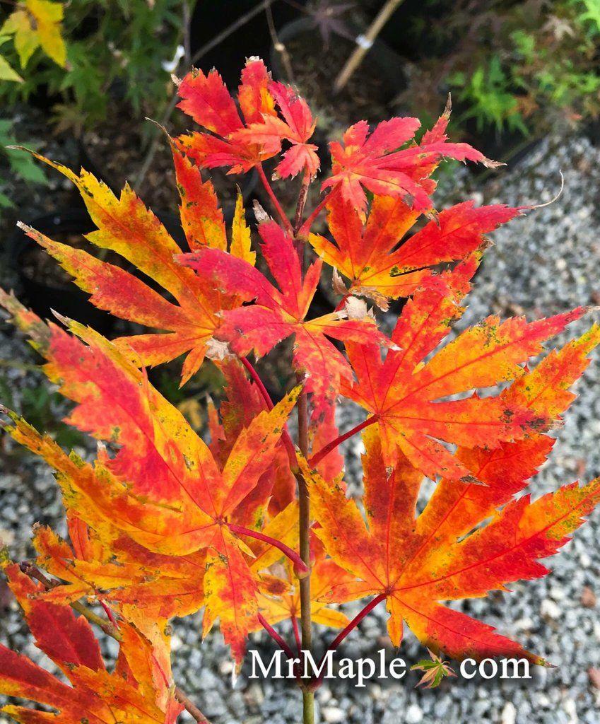 Acer Palmatum Festival Japanese Maple Japanese Maples Acer