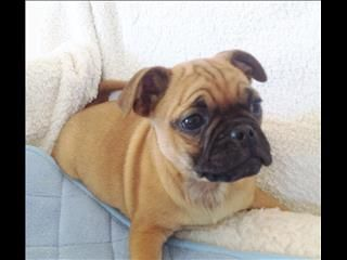 Pug Cross Jug Puppies Qld Pug Cross